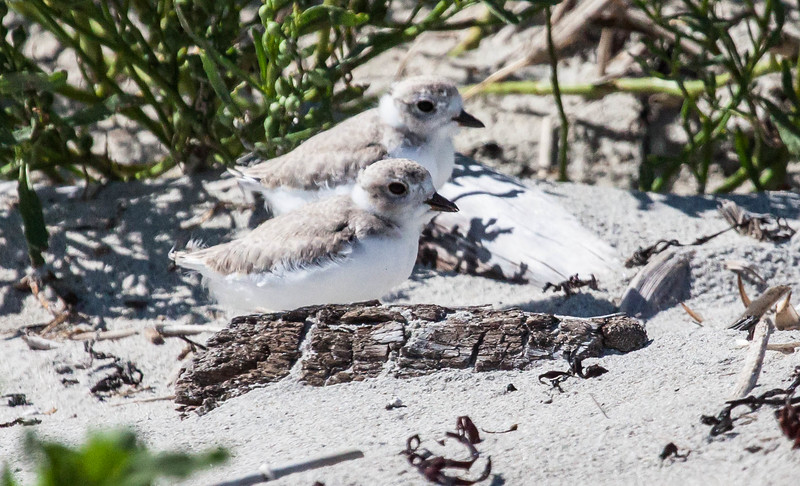 Piping Plover chicks, pair resting in sand, Phippsburg Maine late July