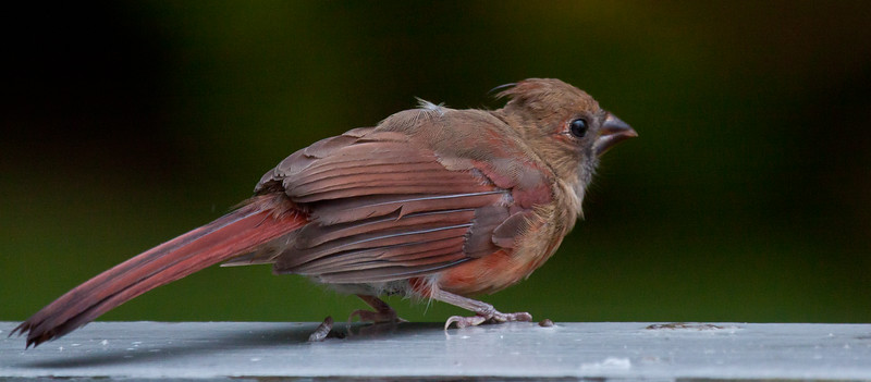 Northern Cardinal Fledgling, male, Phippsburg Maine, September nature, wildlife ,Maine