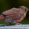 Northern Cardinal Fledgling, male, Phippsburg Maine, September nature, wildlife ,Maine