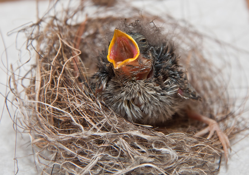 baby bird in nest, possibly a Kinglet, not identified, begging for food, Phippsburg, nature, wildlife ,Maine