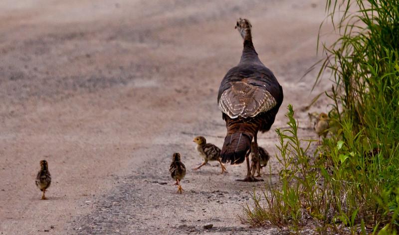 Wild Turkey hen with pullets, chicks nature, wildlife ,Maine