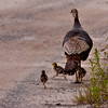 Wild Turkey hen with pullets, chicks nature, wildlife ,Maine