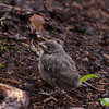 Brown-headed cowbird chick, Phippsburg, Maine, June 2010