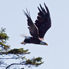 Bald Eagle In Flight, launching from perch Bald Eagle