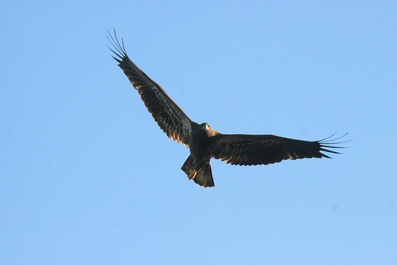 Juvenile Bald eagle, flight, face on stare Bald Eagle