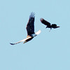 Bald eagle adult being mobbed by crow in flight, Phippsburg Maine Bald Eagle