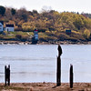 Bald eagle adult perched on old warf pilings on Kennebec River wth Squirrel Point Lighthous in the background, Phippsburg Maine Bald Eagle
