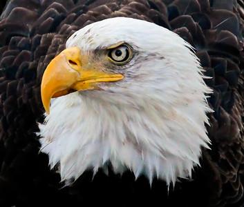 Bald Eagle, adult head shot, left facing Bald Eagle