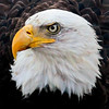 Bald Eagle, adult head shot, left facing Bald Eagle