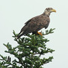 Bald eagle, sub adult perched on Black spruce tree, Phippsburg Maine, looking right