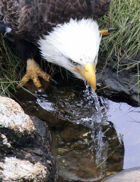 Bald Eagle drinking from tidal pool, Phippsburg Maine Bald Eagle