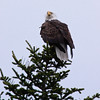 Bald eagle adult perched atop Black spruce Bald Eagle