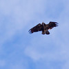 Bald Eagles, two  juveniles, aerial battle In Flight, Phippsburg, Maine Bald Eagle