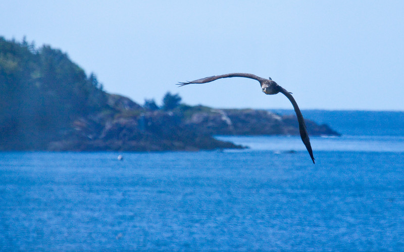 Bald Eagle In Flight, juvenile, Bald Head on Hermit Island in the background, Phippsburg Maine Bald Eagle