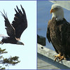 Bald eagle collage, two adults, one launching from tree top perch, the second sitting on my pier Bald Eagle