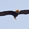 Bald Eagle In Flight Bald Eagle