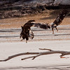 juvenile in scrap on the beach, Atkins Bay, Phippsburg Maine flight Bald Eagle Bald Eagle In Flight Bald Eagle