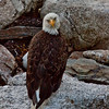 "Bald eagle, adult sitting or rocks looking backward, Phippsburg Maine ""Grumpy!"""