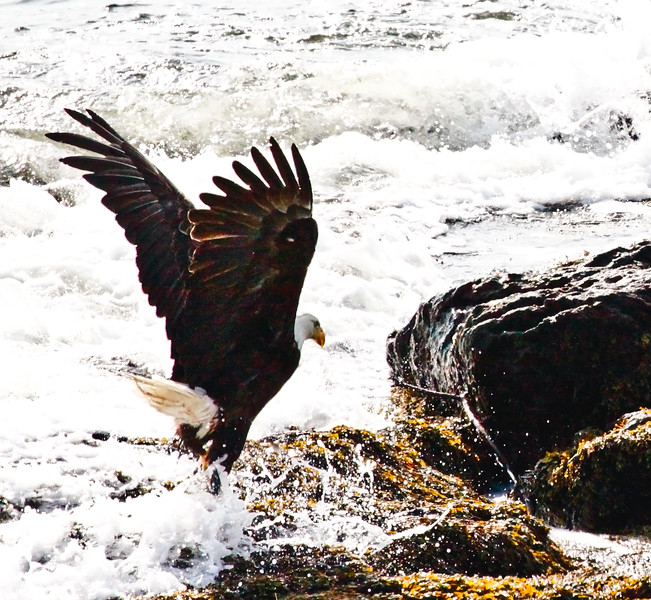 Bald eagle, adult dancing in surf, Totman Cove, Phippsburg Maine Bald Eagle