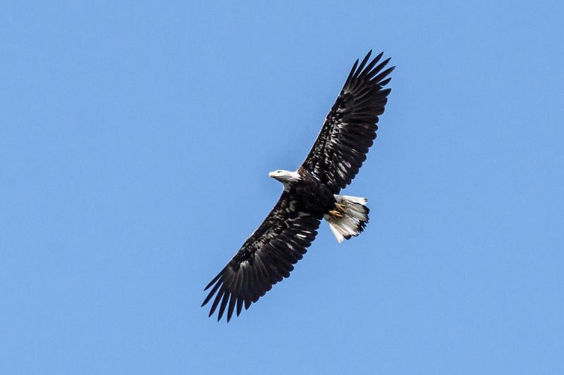 Bald eagle in flight, Phippsburg, Maine