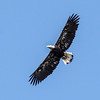 Bald eagle in flight, Phippsburg, Maine