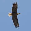Bald eagle adult in flight, left to right Bald Eagle