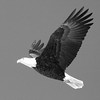 Bald eagle adult, study in black and white, Phippsburg, Maine Bald Eagle