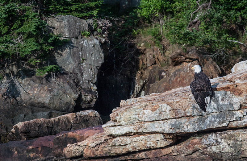 The Bald Eagle and the indian chief, Phippsburg, Maine. This rock formation is part of a ledge near our home in West Point. It resembles the profile of a native Amercian man. The eagle was drying its feathers after having taken a 'swim' while fishing for mackerel.