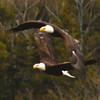 BAld Eagles two adults in flight Phippsburg Maine Bald Eagle