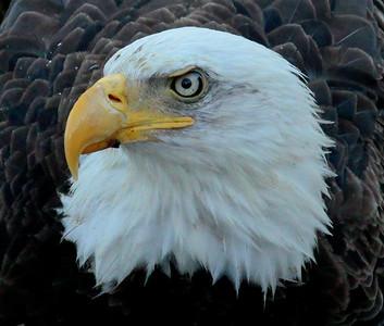 Bald Eagle close up head shot left facing Bald Eagle