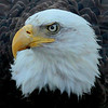 Bald Eagle close up head shot left facing Bald Eagle