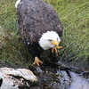 Bald Eagle drinking from tidal pool, head lifted. See the water streaming from her beak? Cool! Phippsburg Maine Bald Eagle