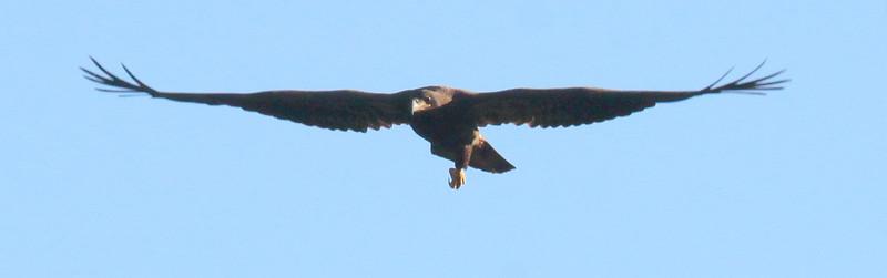 Bald eagle, juvenile with injured leg hanging in flight, Warren, Maine