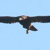 Bald eagle, juvenile with injured leg hanging in flight, Warren, Maine
