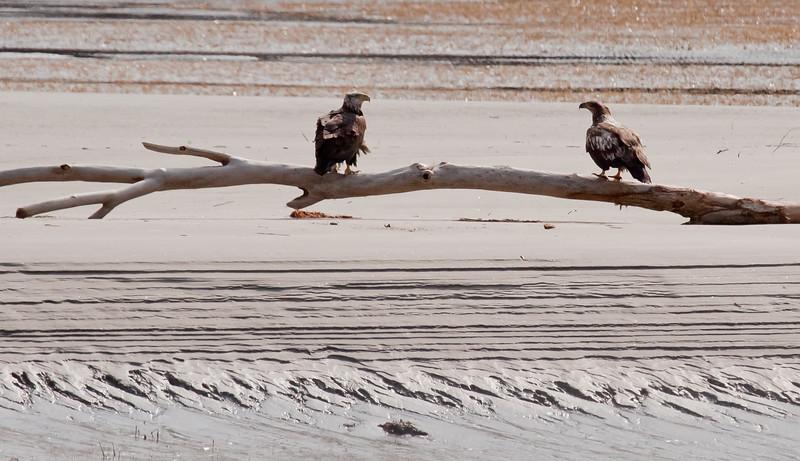 Bald Eagles, juveniles perched on driftwood, Atkins Bay Phippsburg Maine Bald Eagle