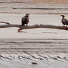 Bald Eagles, juveniles perched on driftwood, Atkins Bay Phippsburg Maine Bald Eagle