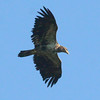 juvenile Bald eagle, Maine, flight left to right Bald Eagle