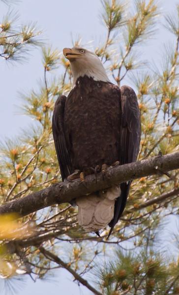 adult Bald eagle, perched, vocalizing, Phippsburg Maine Bald Eagle