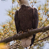 adult Bald eagle, perched, vocalizing, Phippsburg Maine Bald Eagle