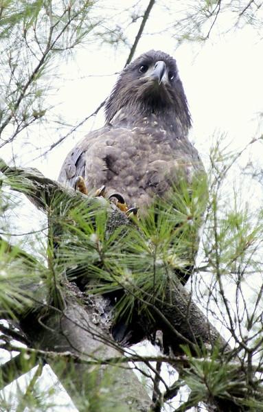 Bald Eagle baby, still in the nest, Phippsburg Maine Bald Eagle
