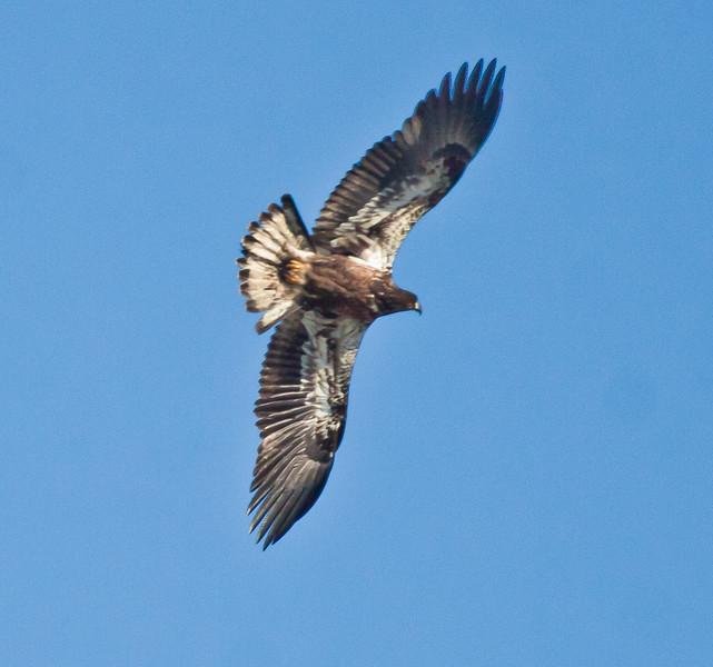 Bald eagle, juvenile in flight right facing Bald Eagle
