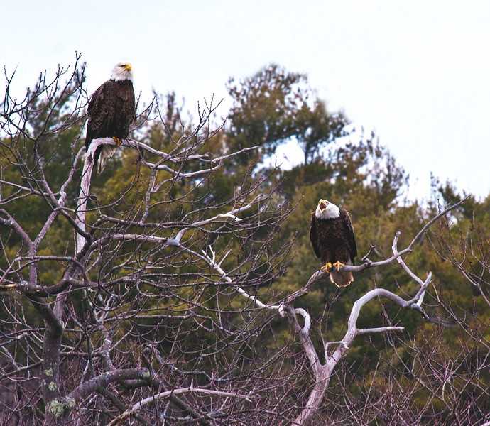 Bald eagle adults, mated pair in tree, Phippsburg Maine, one on the right is vocalizing. The one to the left is probably the female, slightly larger bird Bald Eagle