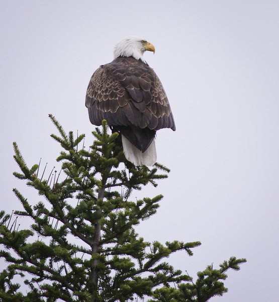 Bald Eagle perched on Black spruce, rear view right facing Bald Eagle