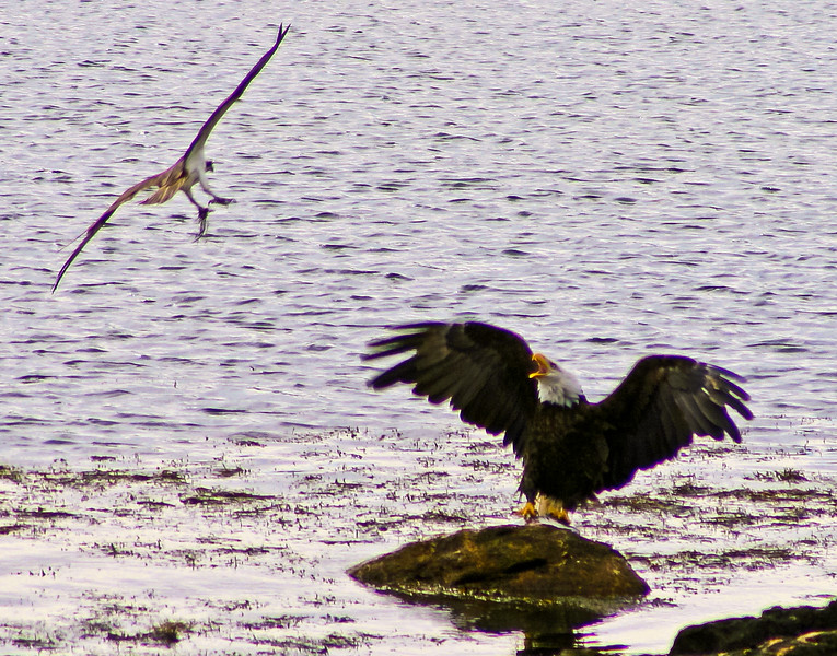 Bald Eagle adult with Striped bass, fending off Ospery carrying seaweed in its talons, Totman cove, Phippsburg Maine Bald Eagle