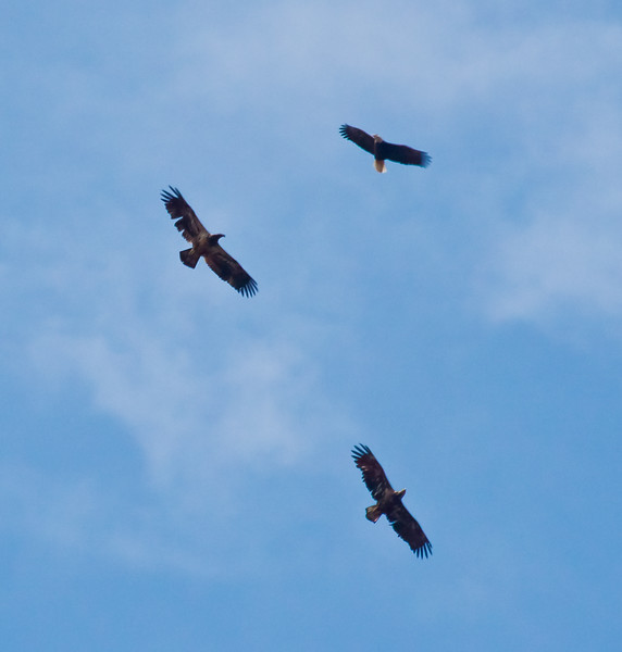 three Bald Eagles In Flight, Phippsburg Maine two juveniles and one adult on the right Bald Eagle