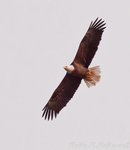 adult Bald eagle, Maine, Phippsburg, flight, left facing, watermarked Bald Eagle