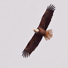 adult Bald eagle, Maine, Phippsburg, flight, left facing, watermarked Bald Eagle