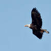 adult Bald eagle in flight, left facing, Phippsburg Maine Bald Eagle