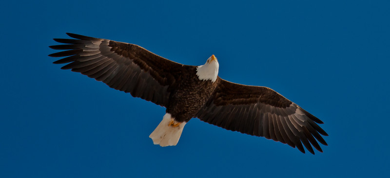 adult Bald eagle, flight, right facing, head tilted, Phippsburg Maine Bald Eagle