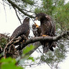 Bald eagle babies, still in next (to left), one on the right is preening